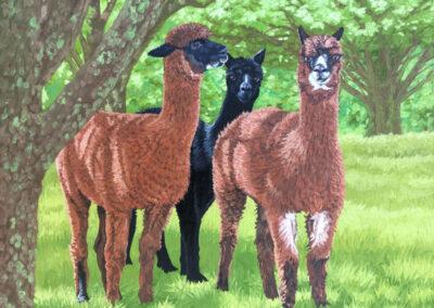 Alpacas of Eusdale Road