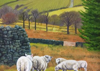 Cheviot Breeding Ewes